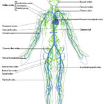 Healing Crisis & The Lymph System